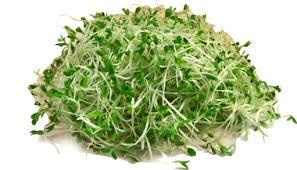 Alfalfa – Makanan Beralkali Untuk Kurangkan Asid Urik Pesakit Gout